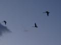 Cigni in volo su Kuhlungsborn