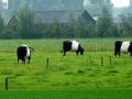 Mucche bianconere di Harderwijk