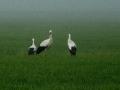 Cicogne nella nebbia